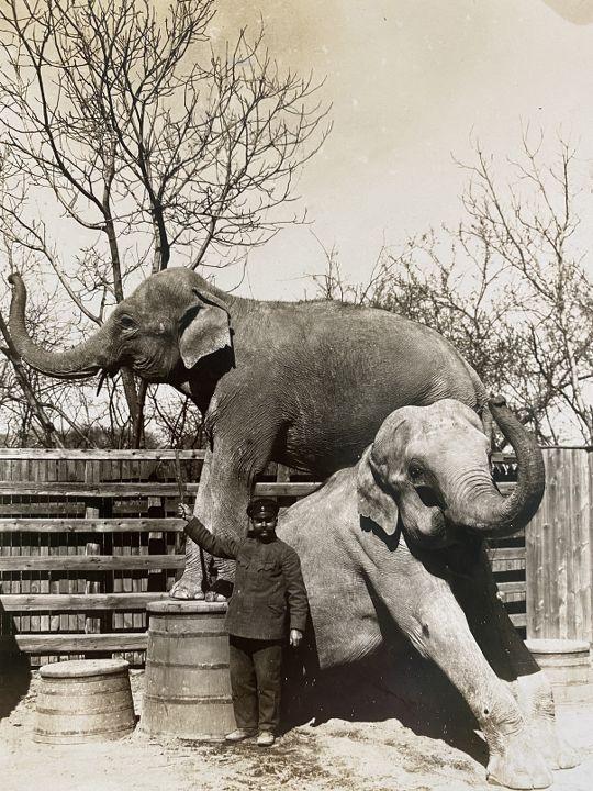 Двата слона Нал и Дамианди в Двореца Врана, 1918 г.