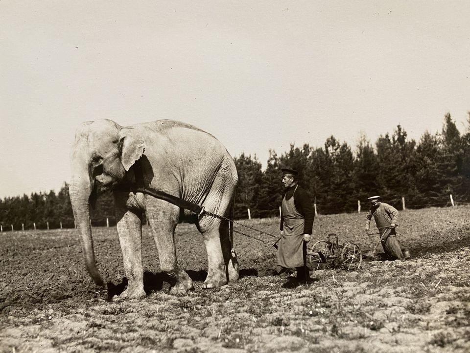 Нал впрегнат за оран в царския чифлик, 1914 г.